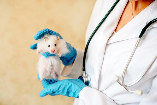Mani del proprietario che tiene piccolo criceto sveglio. medico veterinario professionista che diagnostica animale domestico con lo stetoscopio. animale in esame in clinica veterinaria. medico che indossa guanti e divisa.