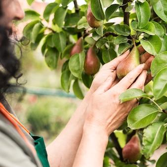Mani della donna del primo piano che tengono una pera