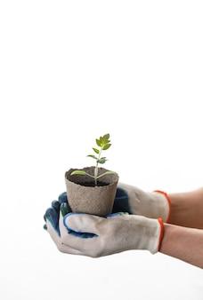 Mani della donna in guanti che tengono la piantina del pomodoro in vaso di fiori zero autodegradabile di eco su fondo bianco isolato