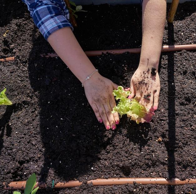 Mani di gril che piantano lattuga in frutteto
