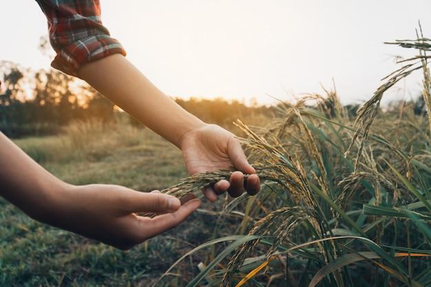 Mani femminili che controllano riso nel campo.