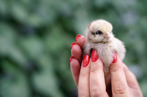 Mani femminili che tengono piccolo pulcino carino con parete sfocata verde