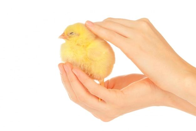 Mani femminili che tengono piccolo pulcino