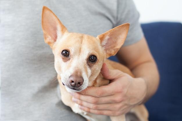 Mani maschili accarezzando un cane. il proprietario ama il suo cane. amicizia tra uomo e cane. chihuahua nelle mani del proprietario. comprensione di uomo e cane, medicina veterinaria, veterinario.