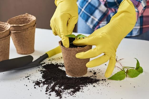 Mani nella pianta di trapianto di guanti gialli