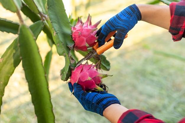 Mani ravvicinate degli agricoltori che raccolgono il frutto del drago, un pitaya o pitahaya è il frutto di diverse specie di cactus autoctoni.