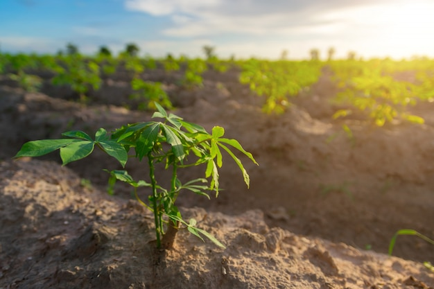 Manioca nel campo di manioca con luce solare
