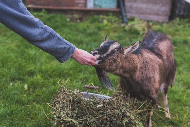 Mano che alimenta la capra in fattoria