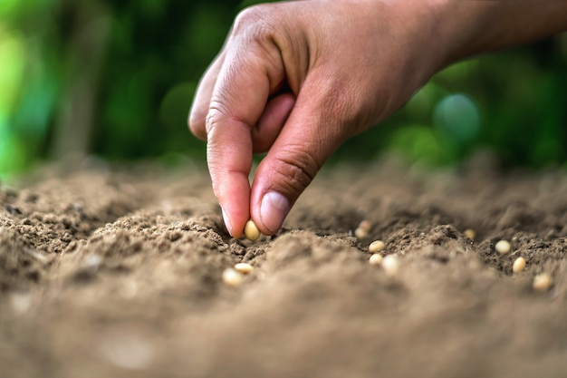 Mano che pianta il seme di soia nell'orto. concetto di agricoltura