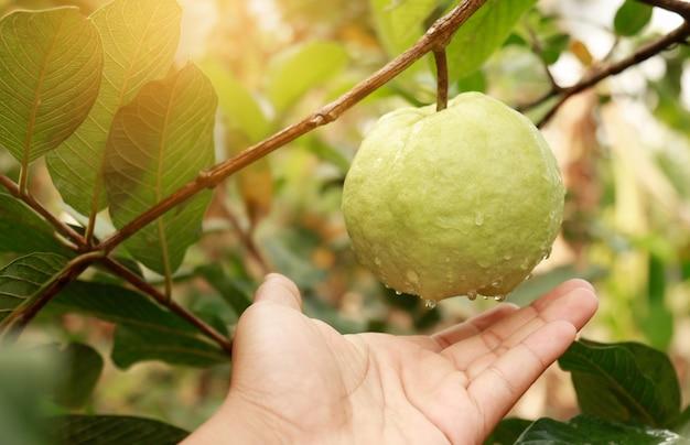 Mano che raggiunge guava fresca in fattoria biologica
