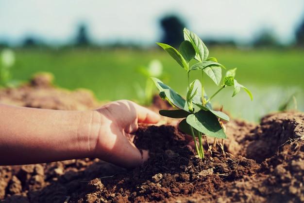 Mano che semina la soia in giardino