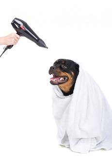 Mano che strangola un cane avvolto in un asciugamano.