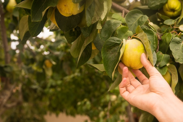 Mano che tiene cotogna di pera gialla, frutti naturali e biologici