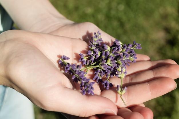 Mano che tiene i fiori viola della lavanda inglese