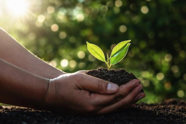 Mano che tiene piccolo albero per piantare nella luce del mattino.