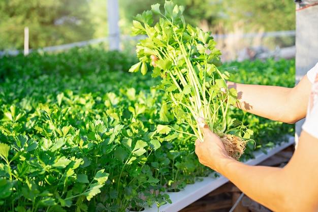 Mano del coltivatore che tiene la verdura di celery hydroponics in famrland.