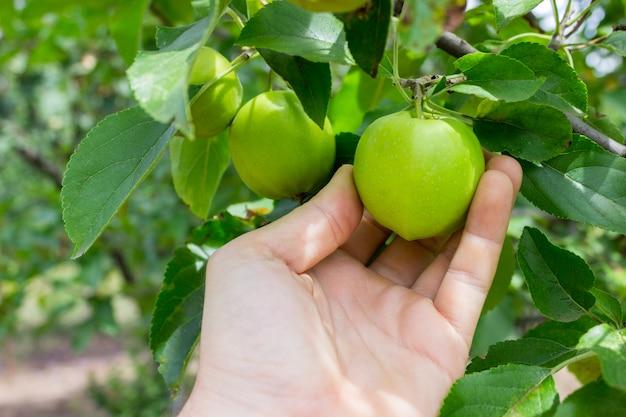Mano del giardiniere che seleziona mela verde. la mano raggiunge le mele sull'albero
