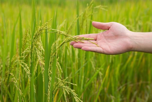 Mano dell'agricoltore che tiene un giovane riso nel campo di zona rurale della tailandia
