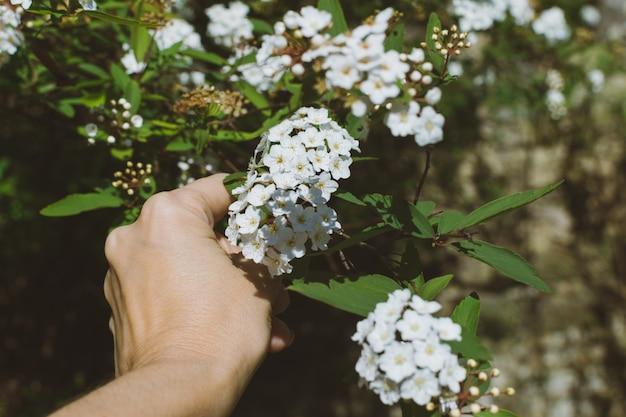 Mano della donna che taglia un ramo con i piccoli fiori bianchi di laurestine