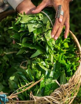 Mano della giovane donna che tiene foglia di tè verde