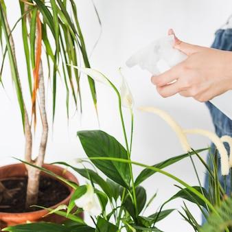Mano femminile che spruzza acqua sulla pianta con la bottiglia dello spruzzo