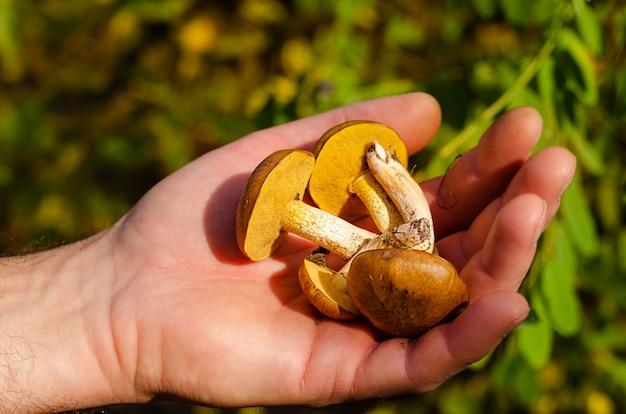 Mano maschio che tiene i funghi oleosi appena raccolti nella foresta di autunno. avvicinamento.