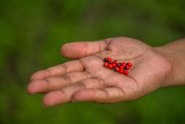 Mano mostrando un primo piano del baccello e semi di jequirity noto anche come pisello del rosario su uno sfondo verde.