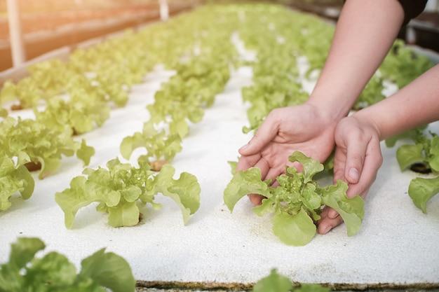 Mano organica delle verdure del raccolto di sistema di coltura idroponica della tenuta di agricoltura sul giacimento delle verdure.