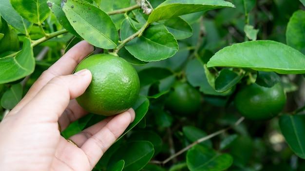 Mano tenere il limone verde