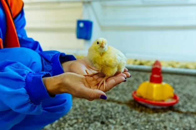 Mano umana che tiene piccolo pulcino sveglio. allevamento di polli al chiuso, alimentazione per polli.
