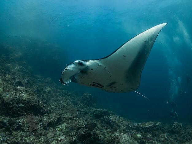 Manta ray nell'isola di komodo