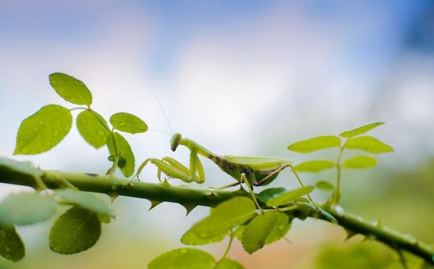 Mantide della famiglia sphondromantis in agguato sulla foglia verde