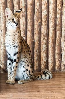 Margay gatto