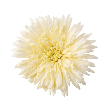 Margherita di barberton, fiore della margherita della gerbera isolato