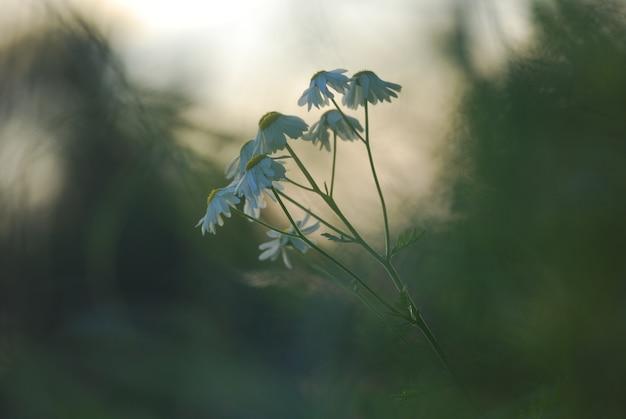 Margherite al tramonto nella foresta. sfondo di primavera