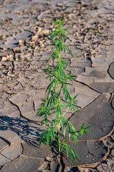 Marijuana, cannabis, pianta fiorita in terra asciutta come medicina medicinale.