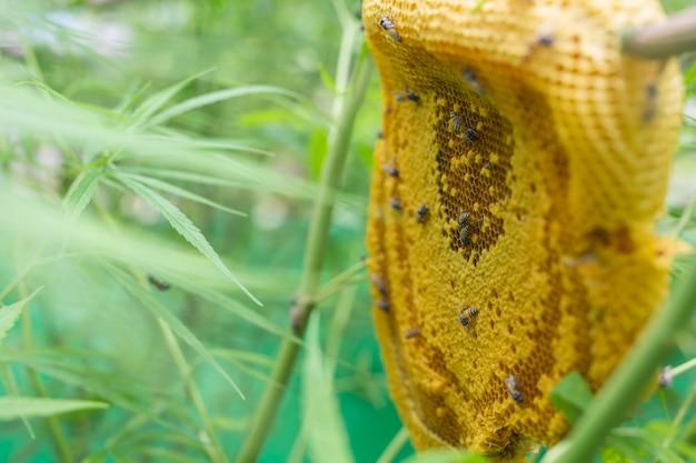 Marijuana e nido d'ape.
