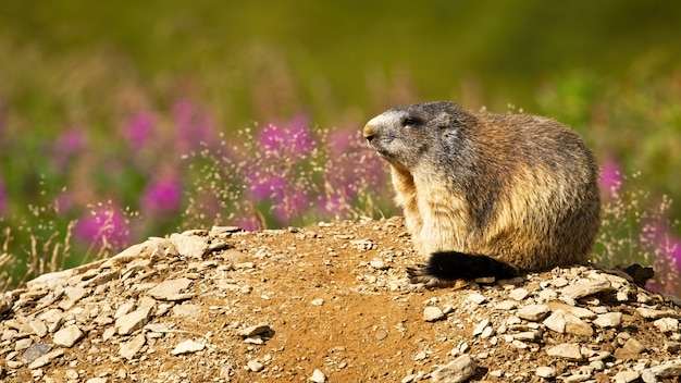 Marmotta alpina che riposa un giorno di estate soleggiato.