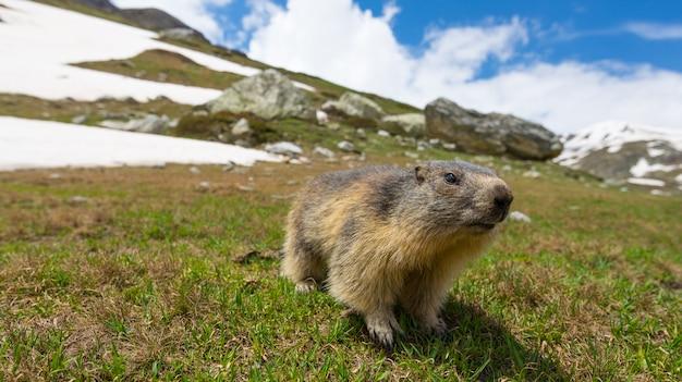 Marmotta, guardando la telecamera, vista frontale. riserva naturale e faunistica nelle alpi francesi italiane.