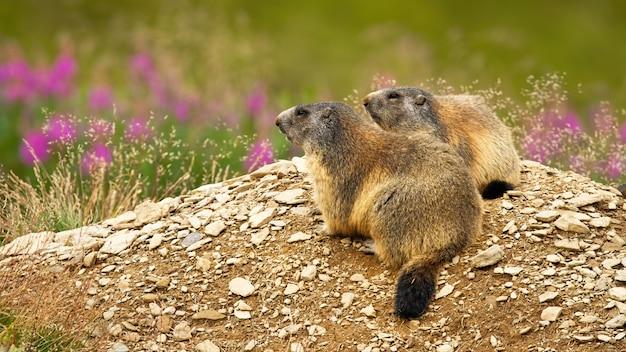 Marmotte alpine che riposano dalla tana