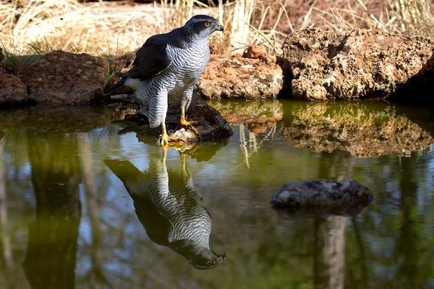 Maschio adulto dell'astore nordico che beve ad un foro di acqua in estate