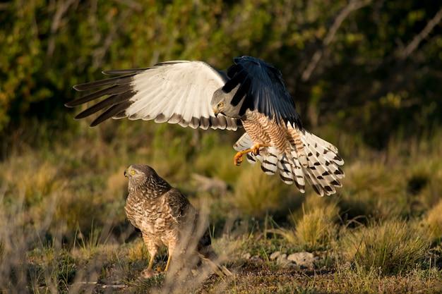 Maschio cinereous harrier che attacca una femmina