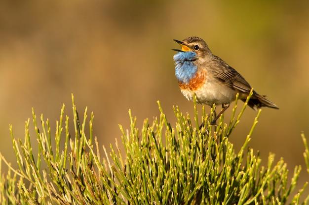 Maschio di maschio di pettazzurro che canta con il piumaggio della stagione degli amori, uccelli, uccelli canori, luscinea svecica