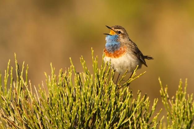 Maschio di maschio di pettazzurro con il piumaggio della stagione degli amori, uccelli, uccelli canori, luscinea svecica