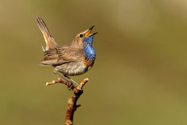 Maschio di pettazzurro che canta con il piumaggio della stagione degli amori, uccelli, uccelli canori, luscinea svecica