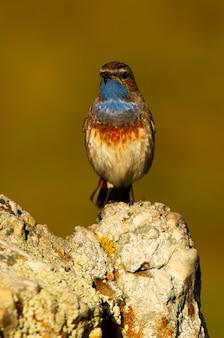 Maschio di pettazzurro con il piumaggio della stagione degli amori, uccelli, uccelli canori, luscinea svecica