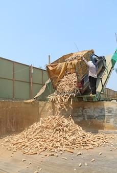 Massa di manioca fresca che trasporta al merchandiser