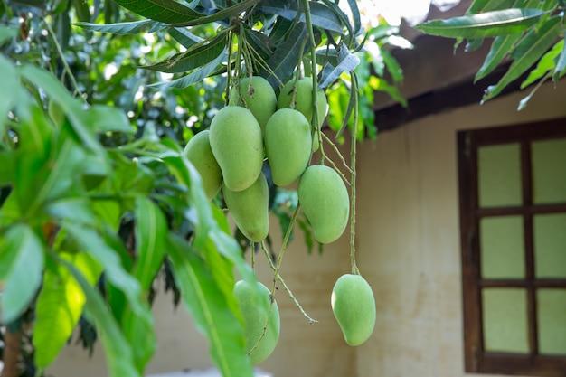 Mazzo crudo del mango in tailandia