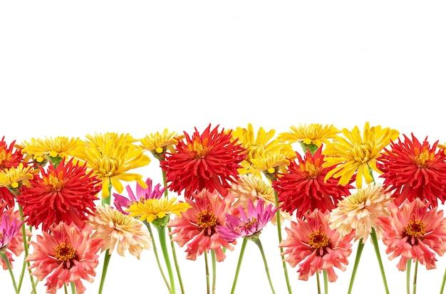 Mazzo dei germogli gialli, rosa, rossi della zinnia di fioritura isolati