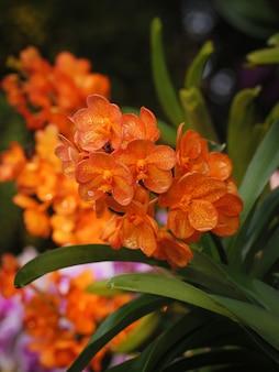 Mazzo del colpo del primo piano di una profondità di campo bassa del fuoco selezionato variopinto variopinto fresco e naturale dell'orchidea